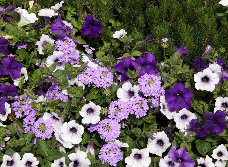 Fioletowe kwiaty wytwarza całkiem sporo roślin. Jest to wyjątkowo atrakcyjny kolor – wyraźnie odcinający się od zieleni liści. To sprawia, że obok fioletowych