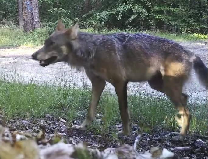 Wilk nagrany w kłodawskim lesie.