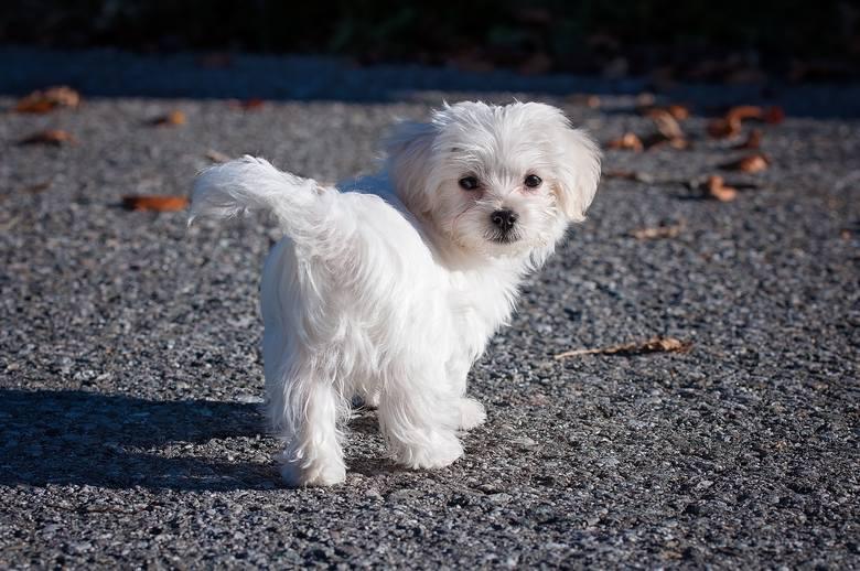 MaltańczykMaltańczyk może być uznawany za pieska idealnego - jest towarzyskim domatorem o łagodnym usposobieniu, dobrze dogadującym się z innymi psami