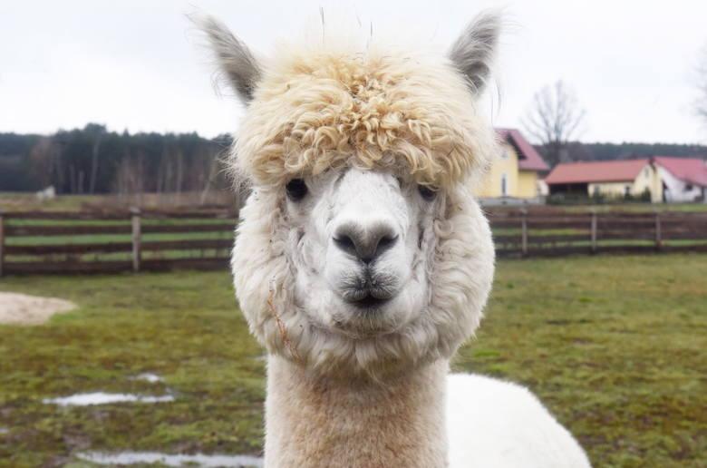 Alpaki możemy spotkać nie tylko w Fundacji Arka, ale także w  Alpakowej Zagrodzie w Koźli.