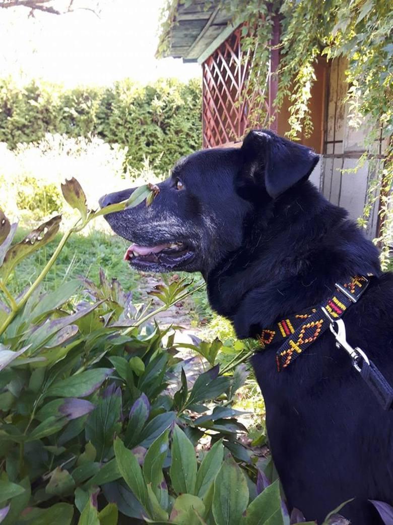 Około 8-letni psiak Szczęściarz cudem przeżył. Szuka nowego domu