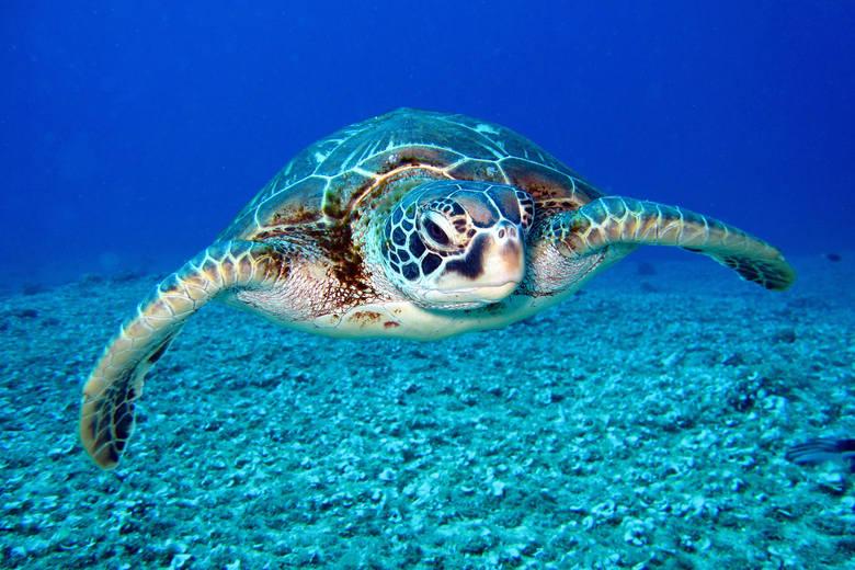 Wielkość populacji: nieznanaŚrodowisko naturalne: wody Afryki wschodniej, rafy koraloweŻółwie szylkretowe są przedstawicielami grupy gadów, która istnieje