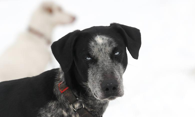 """Wczoraj na starcie """"Wyścigów psich zaprzęgów"""" w Lutowiskach stanęły 23 załogi. To już 16 edycja imprezy, która przyciąga w Bieszczady tłumy turystów"""