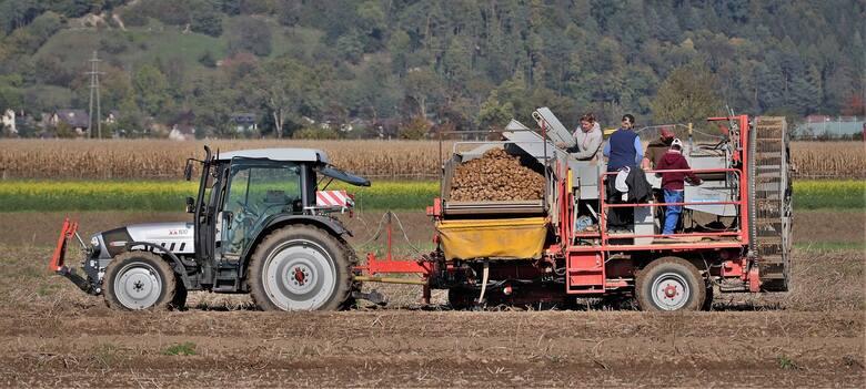 Dzień Ziemniaka. Co zrobić z ziemniaków? Pomysły na zdrowe dania z rośliny, którą kiedyś uznawano za ozdobną