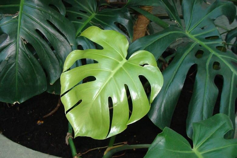 Kwiaty doniczkowe są pożyteczne. Nie tylko zdobią wnętrze, ale też oczyszczają powietrze, tworzą korzystny mikroklimat, a przebywanie w ich sąsiedztwie