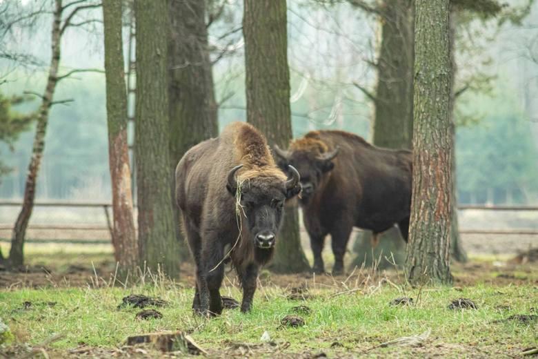 Samiec żubra może ważyć nawet 800 kilogramów. Człowiek w starciu z bykiem nie ma szans. Mimo to do ataków tych zwierząt na ludzi dochodzi sporadycznie.