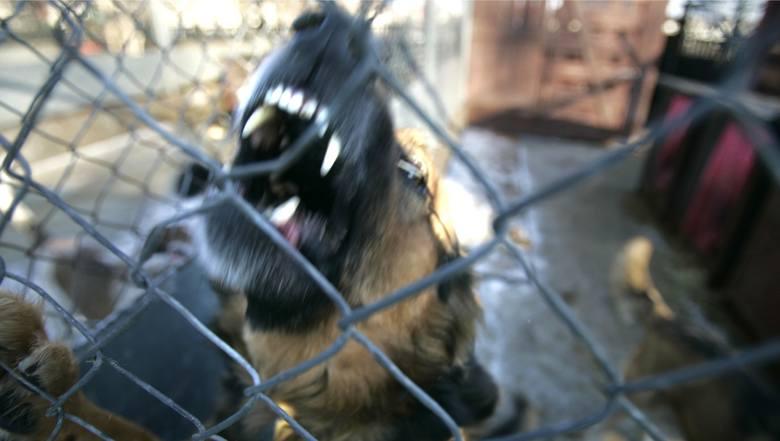 07.01.2008 wroclaw schronisko dla psow. pies, amstaf, agresywny pies , niebezpieczny pies, suka, schronisko, psy gazeta wroclawska pawel relikowski /