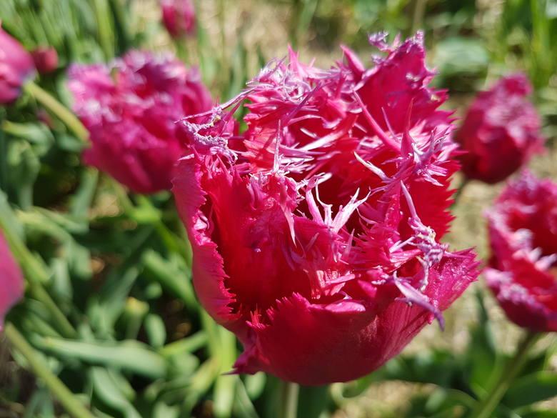 W Magicznych Ogrodach zakwitły niezwykłe tulipany!