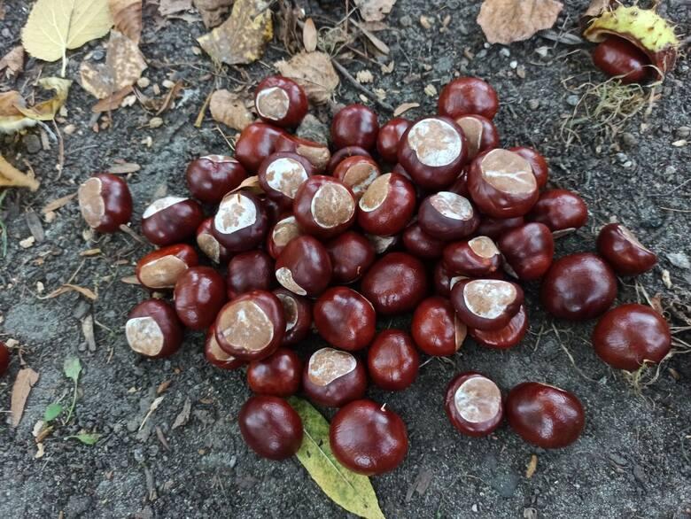 Zbiory kasztanów zazwyczaj mają miejsce we wrześniu i październiku. Ceny kasztanów w skupie to ok.  50 groszy za kilogram. Owoce nie posiadać uszkodzeń