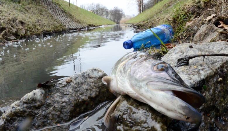 Śnięte ryby pojawiły się w piątek 29 stycznia w części jeziorka na popularnym w Zielonej Górze Wagmostawie. Do wody dostały się zanieczyszczenia z pękniętej