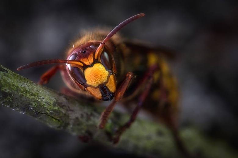 7. SzerszeńTen największy wśród osowatych owad występuje na terenie całej Polski, zwłaszcza w pobliżu terenów zamieszkiwanych przez ludzi.Jego użądlenie