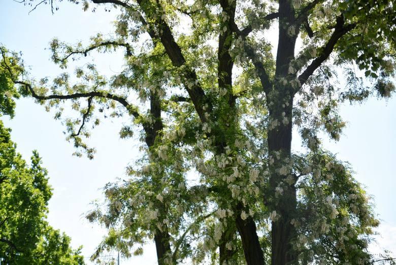Dendrolog przyjrzał się też kwitnącej akacji z placu Litewskiego. - Niepokojące jest, że cienkie gałązki wyrastają bezpośrednio z konarów - komentuje Jerzy Rachwald.