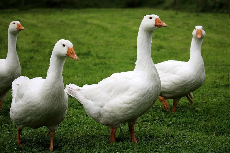Grypa ptaków. Hodujesz gęsi? W całej Polsce obowiązują nowe zasady. Nie wolno np. karmić zielonką