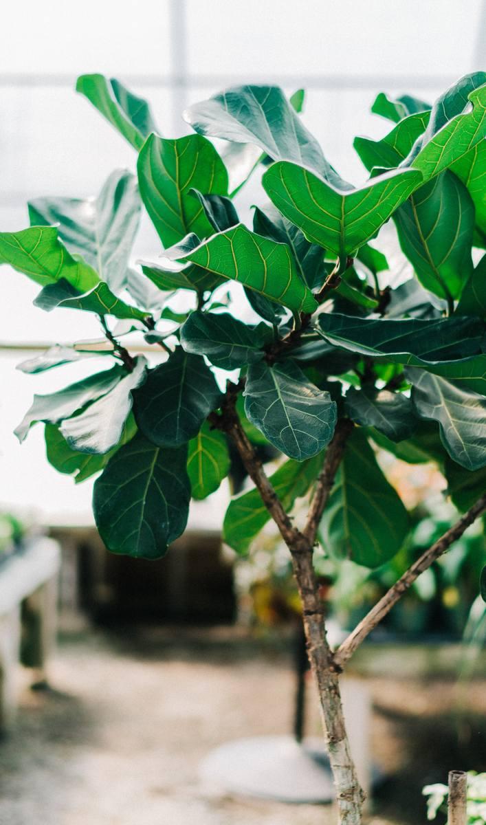 Niektóre rośliny doniczkowe szczególnie skutecznie usuwają zanieczyszczenia powietrza w domu. Jedną z najbardziej polecanych jest fikus lirolistny, inaczej