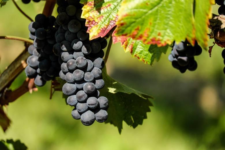 Kiść czerwonych winogron