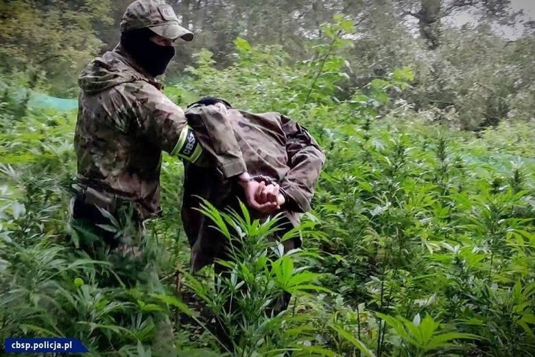 Sekrety plantacji marihuany pod Toruniem. 30 tys. zł za podlewanie roślin!
