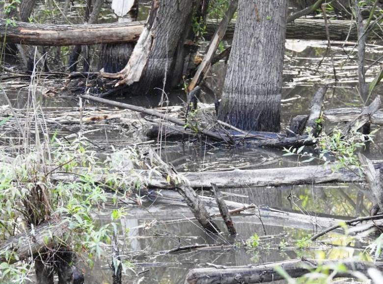 Ratusz ma zgodę na usunięcie tamy bobrów do końca roku. Ekolodzy przekonują, że wniosek w tej sprawie jest bezpodstawny.