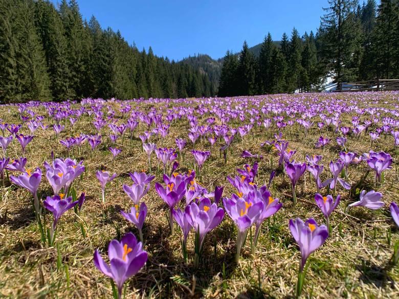 Tatry. Dolina Chochołowska jest pełna krokusów. Zobaczcie, co nas omija w tym roku [19.04]