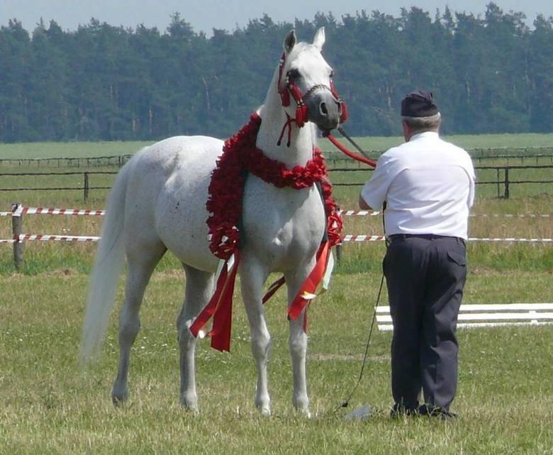 Staruszek, 18-letni Ekstern wygrał w swej karierze wszystkie pokazy w jakich uczestniczył i nadal pozostaje najdroższym reproduktorem w Polsce.
