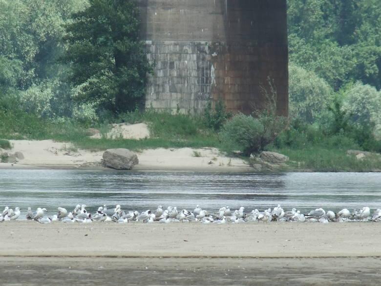 Na łasze wiślanej przy moście kolejowym zaobserwowano mewę śródziemnomorską, która jest tam co najmniej od piątku. Z wyglądu przypomina doskonale znane