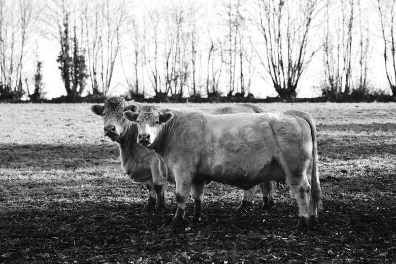 Kontuzjowane krowy przerabiane na kiełbasy, to problem od dawna zamiatany pod dywan