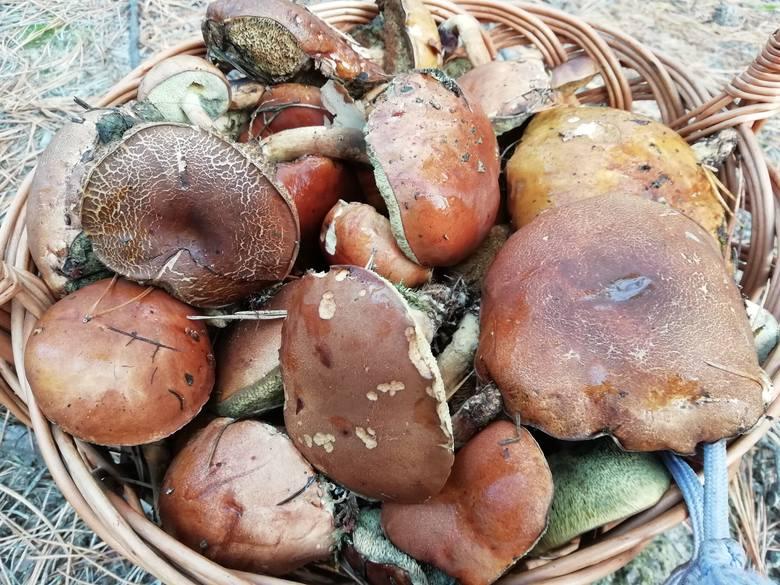 W sobotę amatorów grzybobrania można było spotkać m.in. w lasach w okolicach Leżajska. W koszach przeważały podgrzybki. Rzadziej można było natrafić