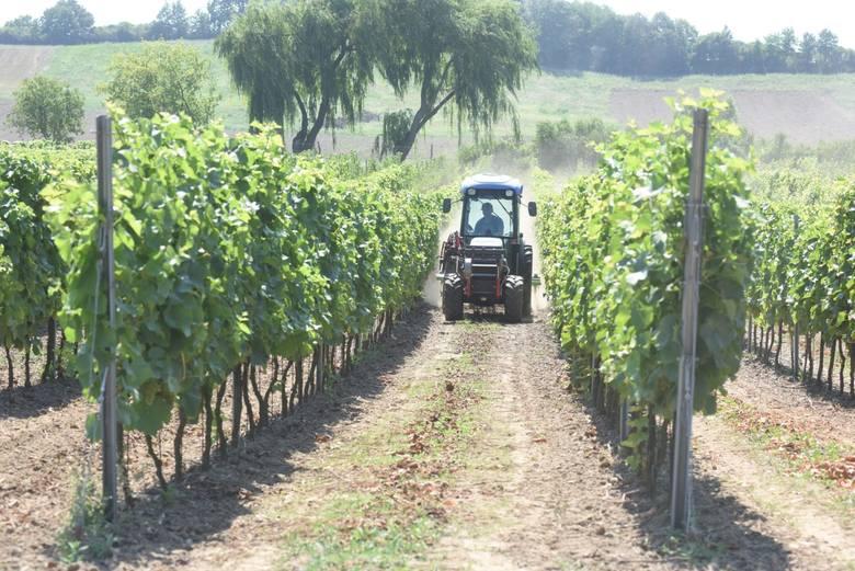 Czasem winiarz jest jak winiarski... archeolog. Odkrywa tajemnice