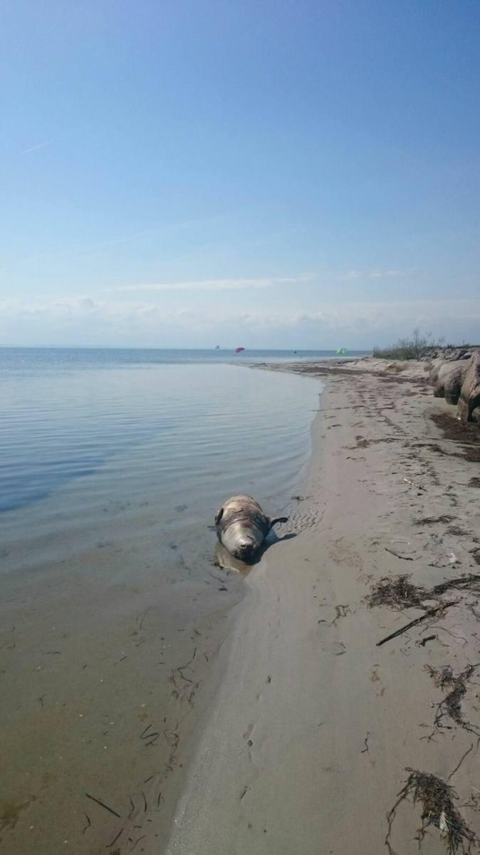 Martwa foka na plaży w Kuźnicy. Zatoka Pucka wyrzuciła na piasek ciało morskiego ssaka. Był chory?
