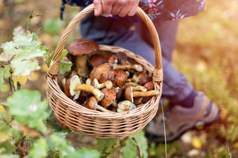 Grzybobranie: Jak zbierać grzyby? Sprawdź! Poradnik grzybiarza