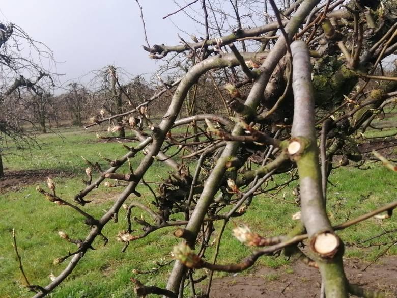 Sadownicy z powiatu sandomierskiego mają powody  do obaw o tegoroczne zbiory, ponieważ w ciągu  dwóch minionych  nocy spadki temperatur, w zależności