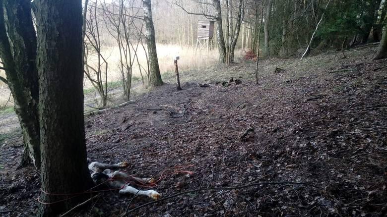 Uwiązany martwy cielak został znaleziony w lesie w okolicach Niw. Na drzewie widać zainstalowaną fotopułapkę