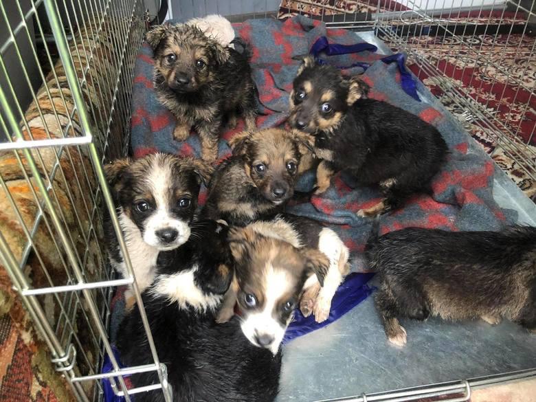 W niedzielę 2 maja na OTOZ Animals - Schronisko Zielona Góra pojawił się poruszający wpis... Wolontariusze poszukują tymczasowych domów dla ośmiu szczeniąt,