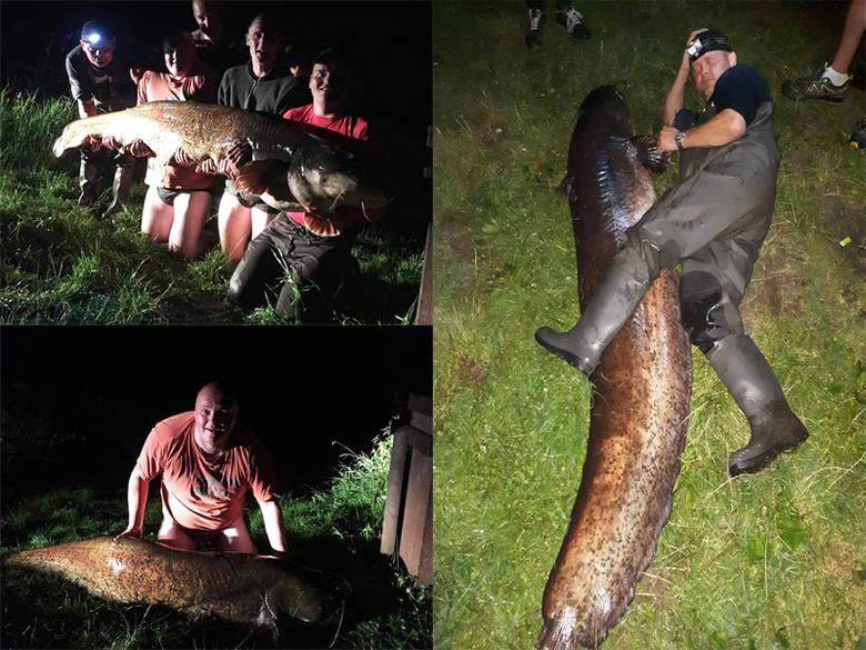 Zdjęcia dostaliśmy od naszego czytelnika. Wędkarz Adam Szulc złapał ogromnego suma. Jak informuje wędkarz ryba miała 65 kg wagi i 225 cm długości. Zdobycz
