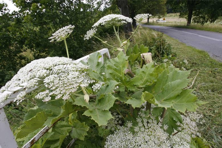 Barszcz Sosnowskiego - groźna roślina. Jak wygląda? [ZDJĘCIA]