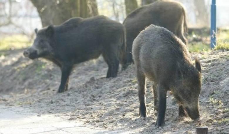 Odłów dzików w Szczecinie jest konieczny. W samym mieście żyje ich ok. 700. Dzięki odłowom, w rejonach, w których są łapane, stan liczbowy populacji może spaść nawet do 100 procent - podaje łowczy miejski