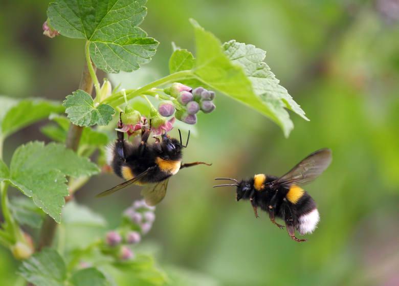 TRZMIELdługość ciała: ok. 30 mmBliski kuzyn pszczoły, łatwo odróżniany dzięki krępej budowie i owłosieniu. Zamieszkuje podziemne nory.W mowie potocznej