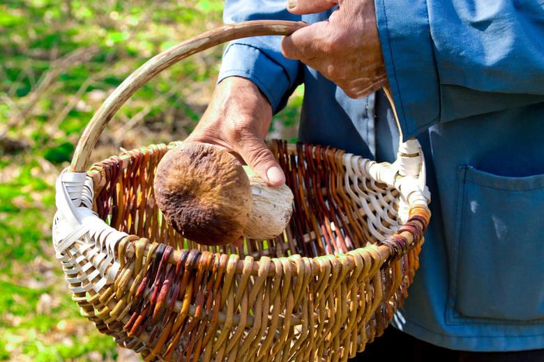 2. Do koszyka wkładaj te grzyby, co do których jesteś pewien.Ok. 90% śmiertelnych zatruć grzybami w Polsce powodują 2 gatunki muchomorów: zielonawy i