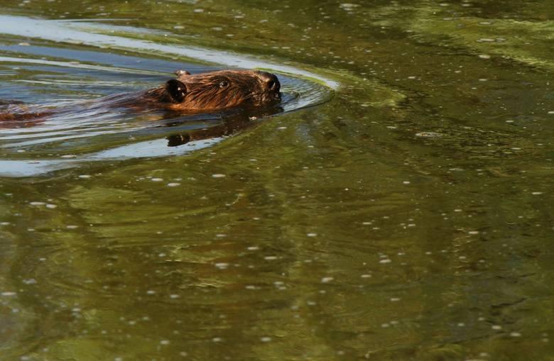 Dawid Kilon miejsca występowania bobrów zna bardzo dobrze, ponieważ tereny te monitoruje od ponad 10 lat.