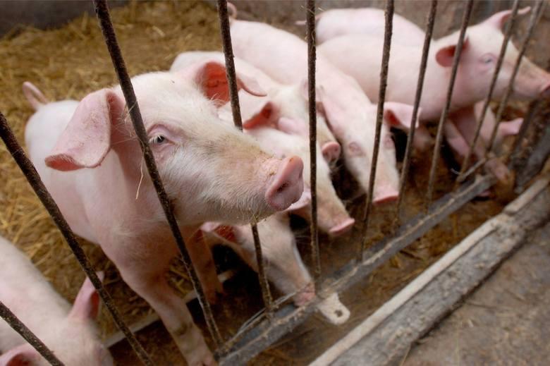 Rolnicy z gminy Otyń skarżą się, że muszą umierać zdrowe świnie.