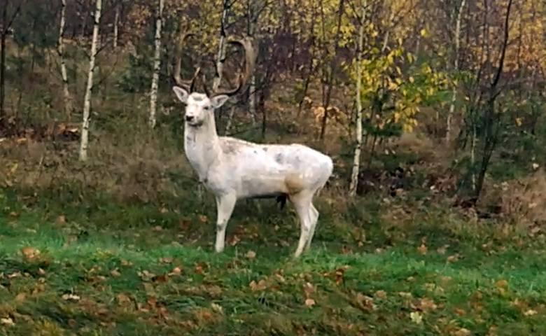 - Miałem dziś okazję spotkać w okolicach Wolsztyna nietypowego zwierzaka, a mianowicie białego daniela - napisał do nas Czytelnik. -Czytałem, że to bardzo