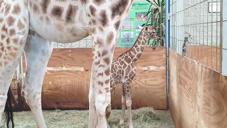 W opolskim zoo urodziła się żyrafa. Na świat przyszła w nocy z poniedziałku na wtorek