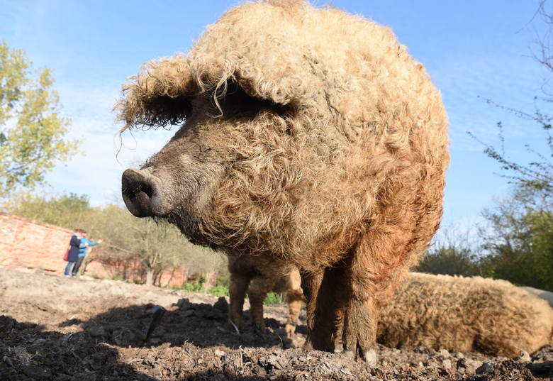 Nie wszyscy wiedzą, że parę kilometrów od centrum Zielonej Góry znajduje się hodowla mięsnych krów rasy hereford i nietypowych, węgierskich świń z...