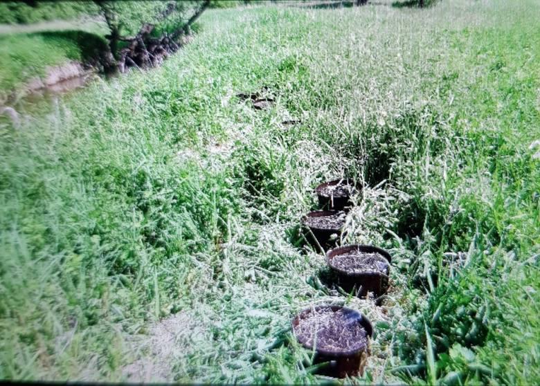 Dwaj bracia zostali zatrzymani po odkryciu przez policję uprawy konopi indyjskich w lesie pod Bełchatowem nad rzeką Rakówką. Policjanci wydziału kryminalnego