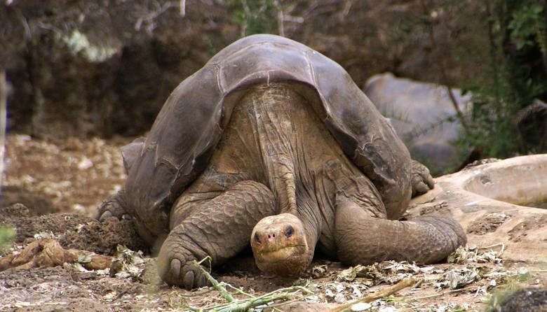 Żółw słoniowy z Pinta IslandTen szczególny podgatunek żółwia słoniowego został odkryty w latach 70. i od razu objęto go ścisłą ochroną. Ostatni przedstawiciel,