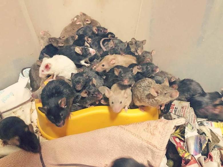 """Obrzydliwe! Tysiąc myszy w mieszkaniu we Wrocławiu. """"Hodowla wymknęła się spod kontroli"""""""