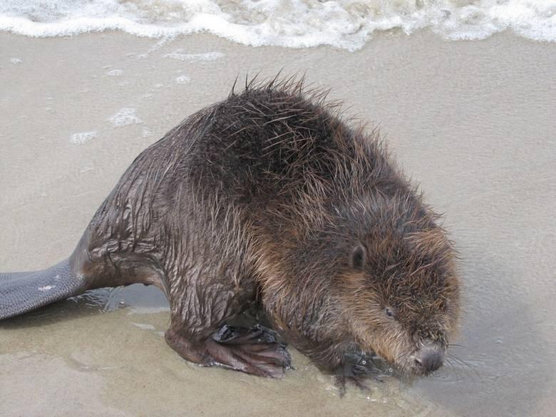 Bóbr na plaży w Mrzeżynie. Polubił morską wodę [zdjęcia]