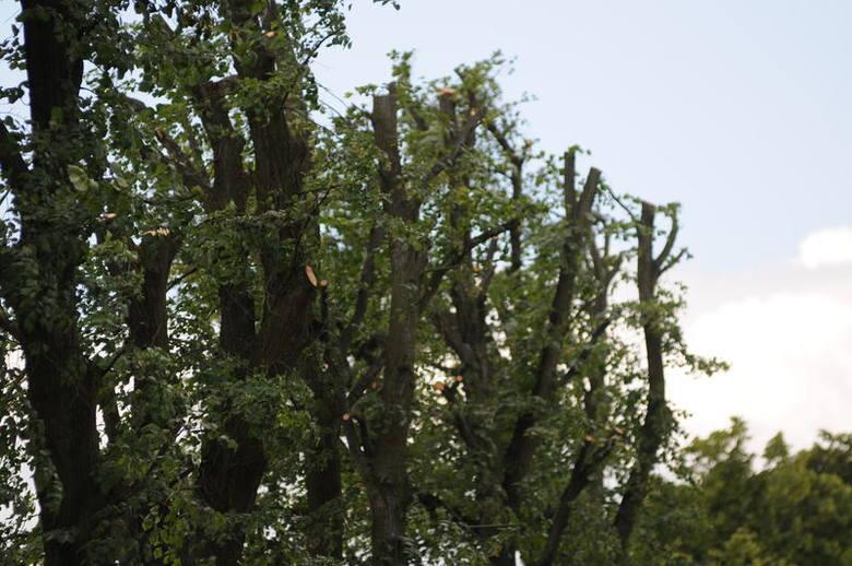 Zdaniem fachowców, lipy koło Ołoboku i Skąpego przycięto za mocno. Pielęgnacji drzew należy dokonywać co roku i małymi krokami, a nie tak gwałtownie
