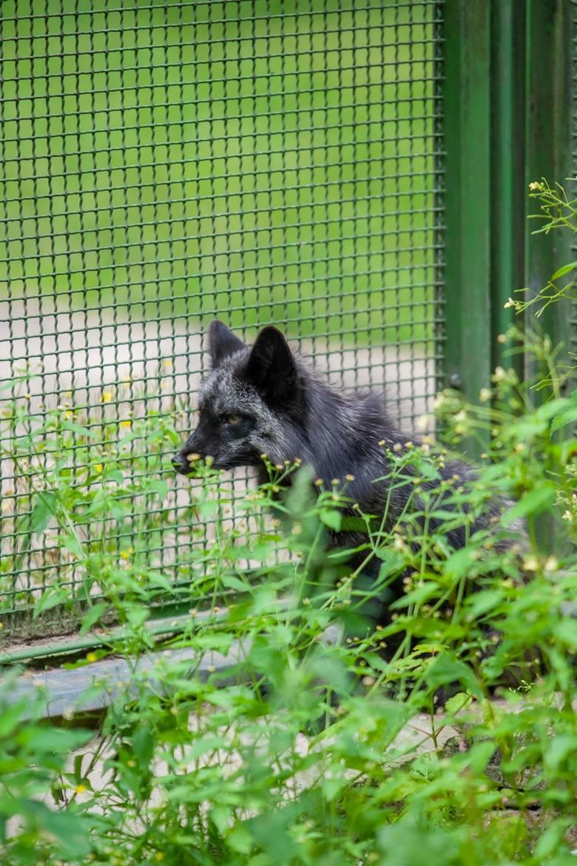 Wilcze szczenię trafiło do ogrodu zoologicznego w Myślęcinku po interwencji, jaką na początku lipca pod Inowrocławiem przeprowadzili członkowie Stowarzyszenia