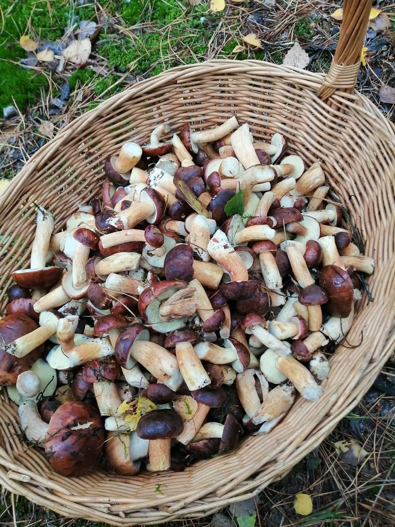 Grzybów nie brakuje także w lasach, którymi administruje nadleśnictwo Kolumna.- W tym roku mamy prawdziwy miks grzybów: prawdziwki, podgrzybki, kanie