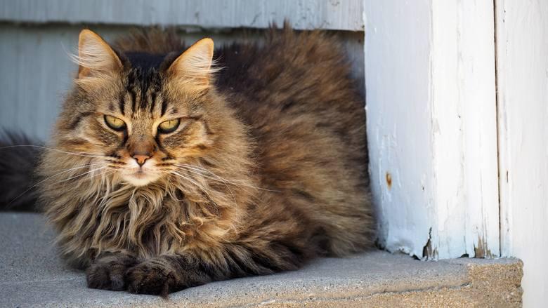 9. Kot norweski leśnycena: 2000 złKot pochodzący ze Skandynawii, dzięki masywnej budowie i grubej sierści jest przystosowany do temperatur sięgających